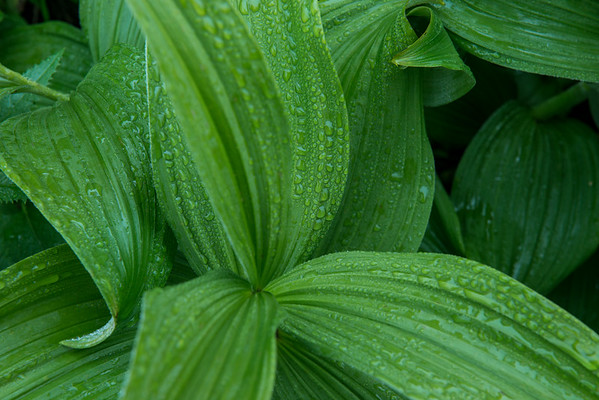 I loved the water droplets on these Corn Lily, and had to take a shot!
