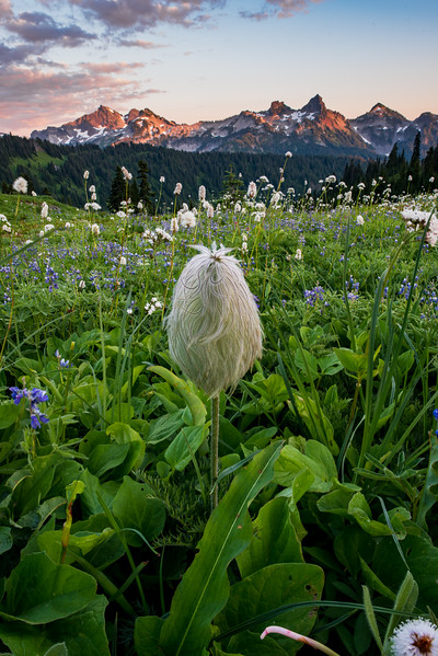 Some big beargrass facing the Tatoosh Range mountains. They're some crazy plants!