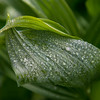 Willie managed to find his perfect Corn Lily patch here, and I found some water droplets I wanted to photograph.