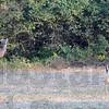 MET111216 autumn deer