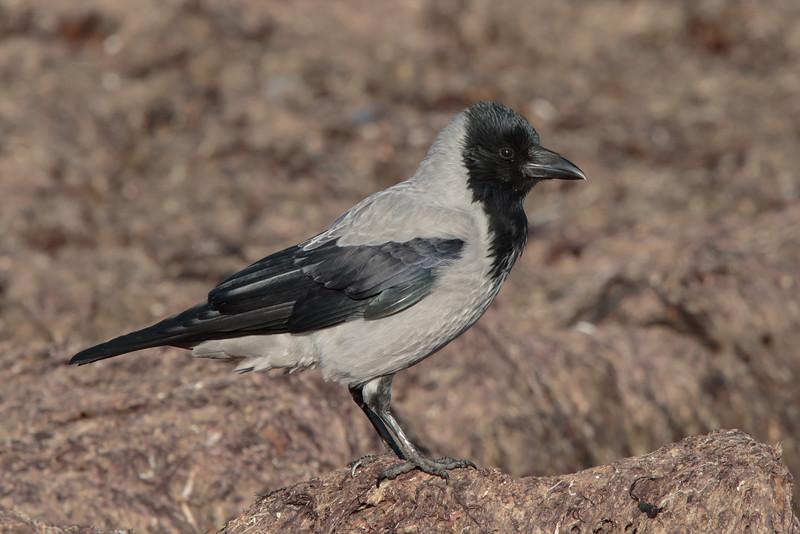Hooded Crow; Gråkrage; Corvus corone corvix, Gilleleje, Danmark, Oct-2016