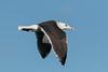 Great blackbacked gull, Svartbag, Larus marinus, Gilleleje, Danmark