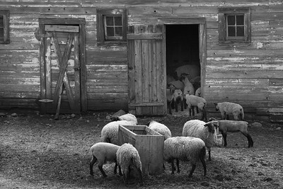 Palouse Sheep