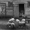 Palouse Sheep
