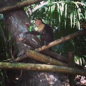 Monkey Banana - Bridget St. Clair