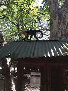 Monkey on the Roof Curu - Bridget St. Clair