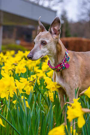Penny and the daffodils