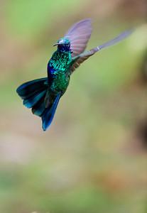 Sparkling violet-ear hummingbird