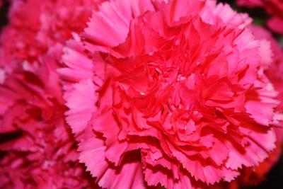 Carnation Jan 10 2016