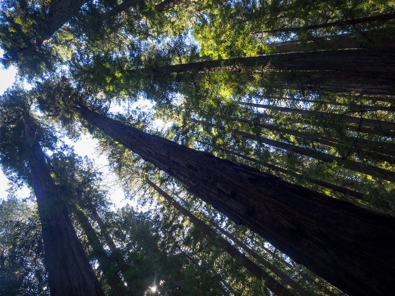 Hendy Grove redwoods