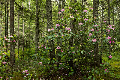 Wild Pacific Rhododendrons in Manning Park