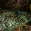 Lingcod love, Hare Reef
