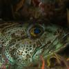 Lingcod love, Hare Reef
