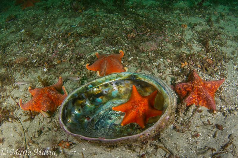Sea stars polishing up an abalone shell, Abalone Alley