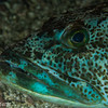 Green Lingcod, Judith Pinnacle