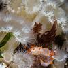 Clown dorid and Metridium senile anemones, Hare's Reef