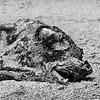 Dead Seal Lion