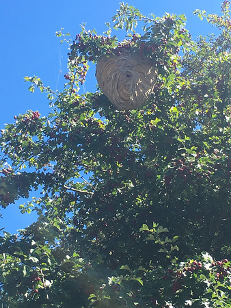 Huge wasps nest in Discovery Park!