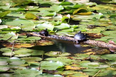 Painted Turtles on a log