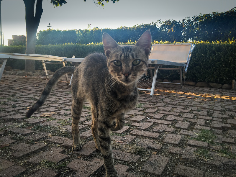 One of the wild cats that roams near the hotel