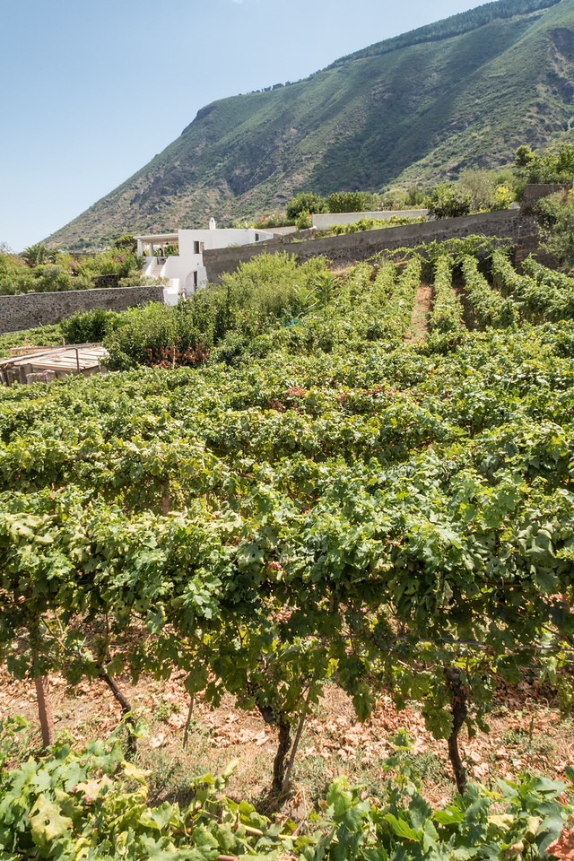 Vines growing grapes for the local sweet wine, Malvasia