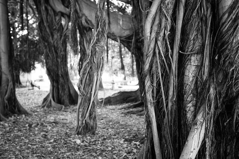 The impressive Australian Banyan tree (ficus magnoloides or ficus macrophylla) in the Giardino Garibaldi