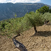 Olive trees in the Madonie mountains