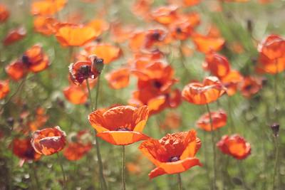 Poppy Field...