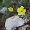 helianthemum, rock rose