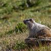 Sunny Marmot