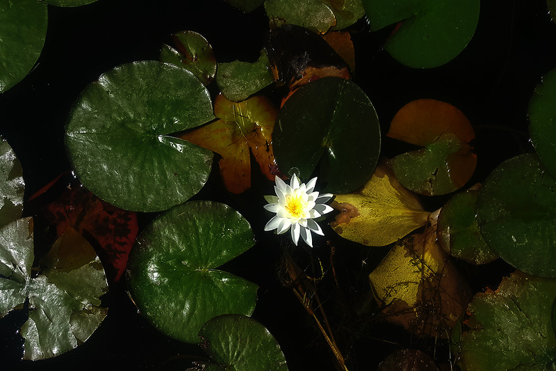 Water Lilly at The Lake....