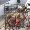 Pulling up a pile of Dungeness crab.