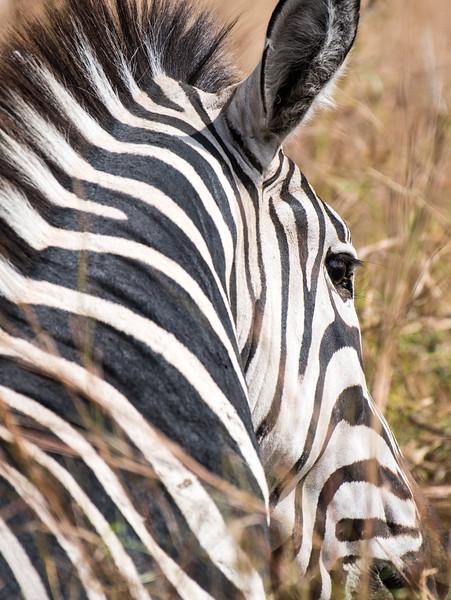Zebra abstract.