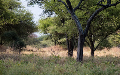 Impalas in Tarangire National Park.