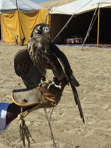 The millennia-old sport of falconry continues in Qatar