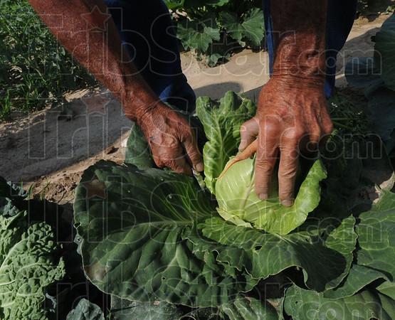 MET062416lkoch cabbage