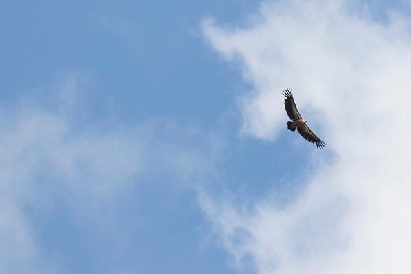 aquarossa, capanna cadlimo vale gier,  griffon vulture