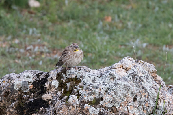 rotsmus, rock sparrow