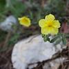helianthemum, rock rose