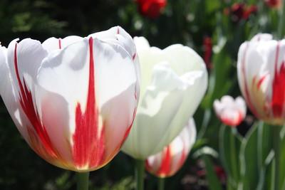 Maple Leaf Tulip