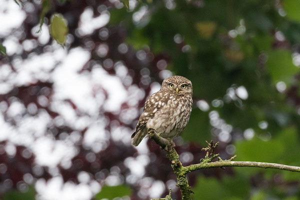 steenuil, little owl