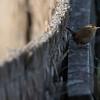 winterkoning, wren