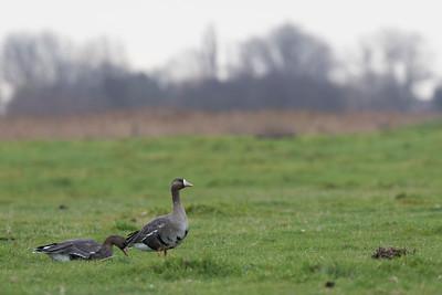 kolgans, whitefronted goose