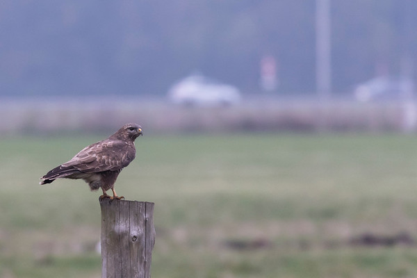 buizerd, common buzzard