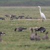 zilverreiger, great white egret