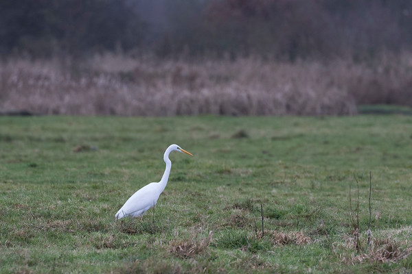zilverreiger, great white egret