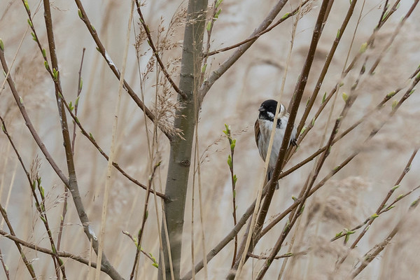 rietgors, reed bunting