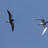 zwarte stern, black tern<br /> visdiefje, common tern