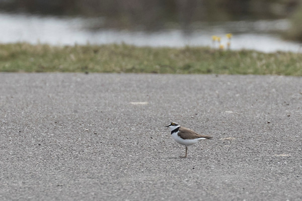 kleine plevier, little ringed plover