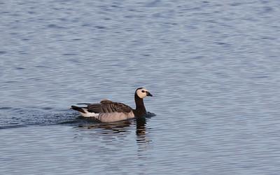 brandgans, barnacle goose